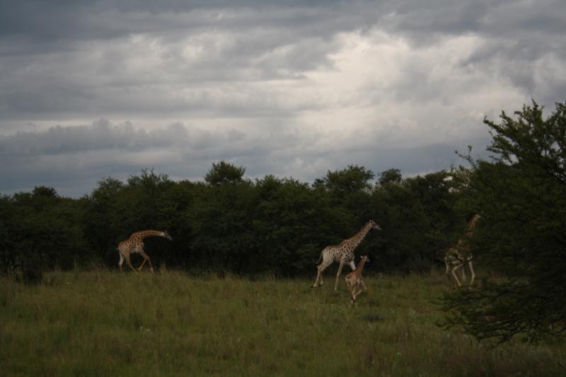 our-baby-giraffe-is-a-big-boy